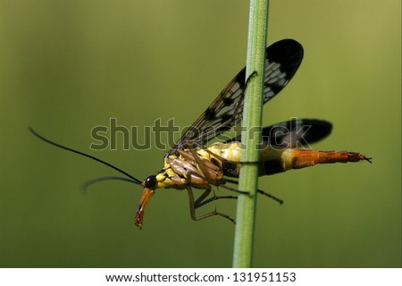 side of wild fly Mecoptera Scorpion Fly Panorpa Panorpidae on a green branch