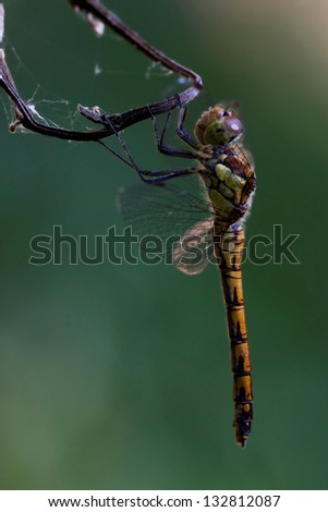 side of wild  yellow black dragonfly on a wood branch  in the bush