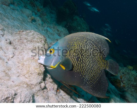 Side-on shot of a French Angelfish against sandy background