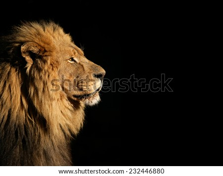 Side portrait of a big male African lion (Panthera leo) against a black background, South Africa - stock photo