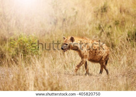 Side portrait of spotted hyena in the grass - stock photo
