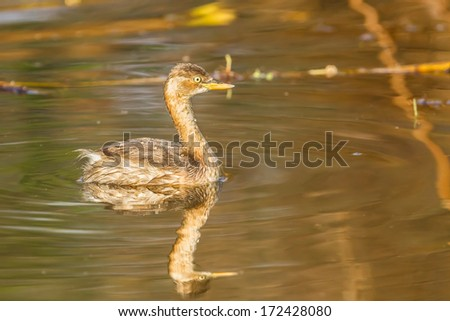 Side portrait of Young Little Grebe (Tachybaptus ruficollis) with her shadow