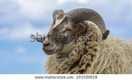 Side portrait Ram, sheep - stock photo