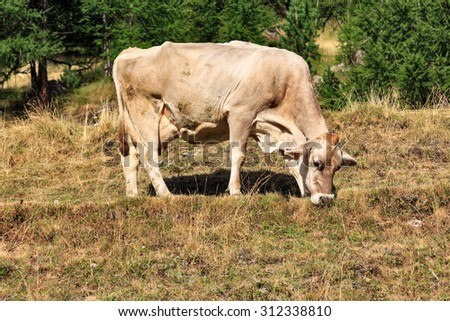 Side Profile Full Length of Cow Grazing on Dried Grasses in Hills of Livigno, Italy
