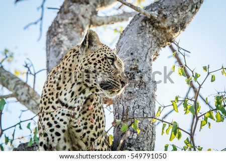 Side profile of a Leopard in the Kruger National Park, South Africa.