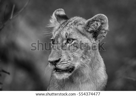 Side profile of a Lion cub in black and whtie in the Kruger National Park, South Africa.