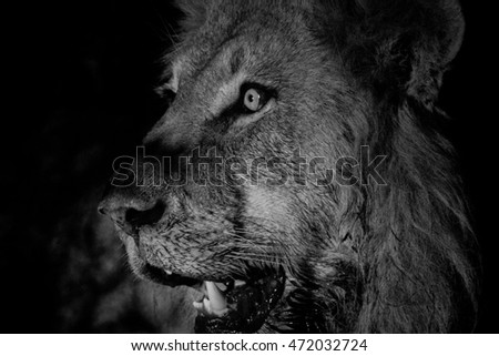 Side profile of a Male lion in black and white in the Kruger National Park, South Africa.