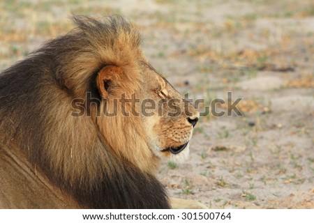 Side Profile of Cecil the Hwange Lion - Zimbabwe - stock photo