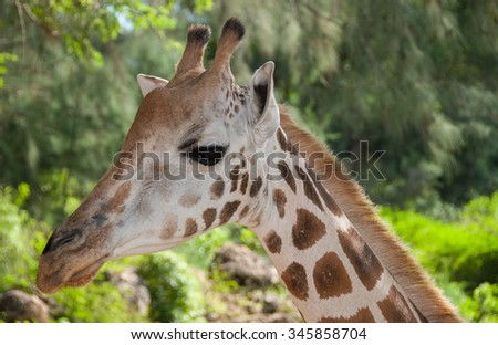Side profile portrait of a giraffe's head - stock photo
