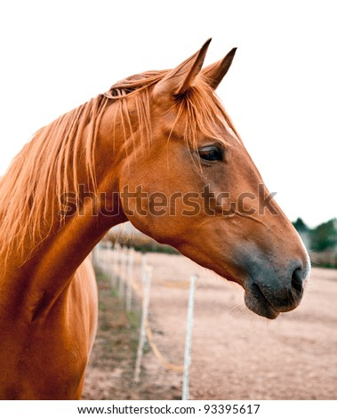 Side shot of a beautiful young warm-blood horse. He is listening with his ears perked up. Beautiful chestnut color.