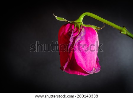 Side shot of a single pink dying rose on a black blank background - stock photo