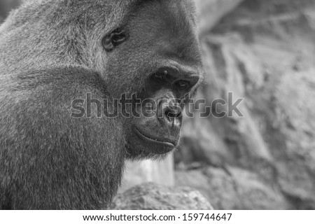 Side shot of west lowland gorilla in black and white