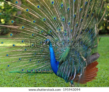 Side view at peacock with open tail - stock photo