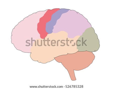 side view brain structure