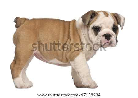 side view, English Bulldog puppy, standing, 2 months old