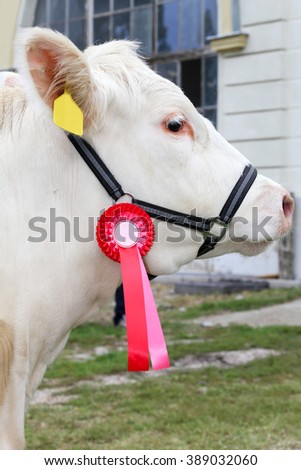 Side view head shot of an award winning cattle cow with rosette ribbons - stock photo