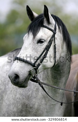 Side view headshot of a fleabitten grey horse with leather harness