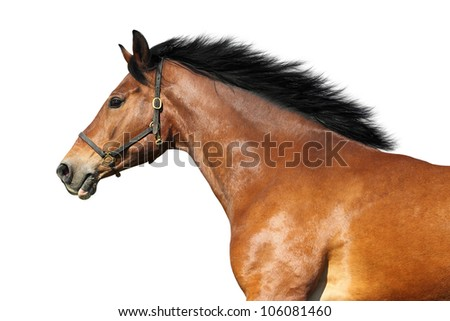Side view of a bay horse. Isolated over white. - stock photo