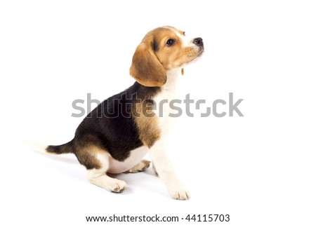 side view of a Beagle in front of white background - stock photo