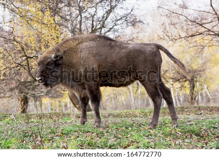 Side view of a big European bison or Wisent (Bison bonasus). - stock photo