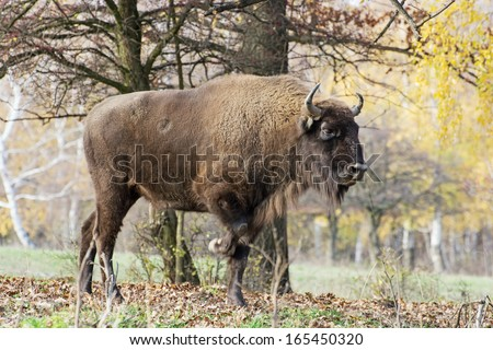 Side view of a big Wisent or European bison (Bison bonasus). - stock photo