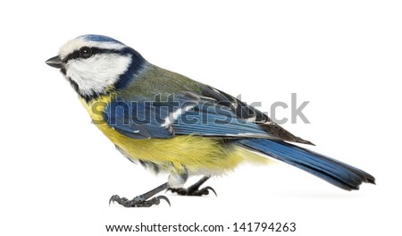 Side view of a Blue Tit, Cyanistes caeruleus, isolated on white