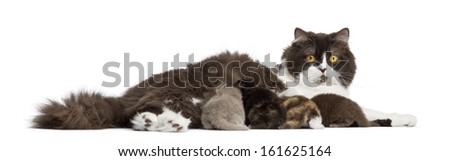 Side view of a British Longhair lying, feeding its kittens, isolated on white