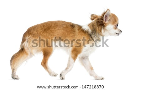 Side view of a Chihuahua walking, isolated on white