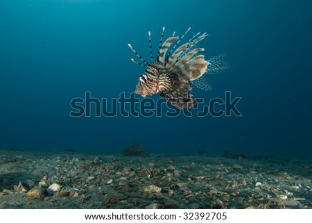 Side view of a Common lionfish (Pterois miles) over sandy seabed. Red Sea, Egypt.