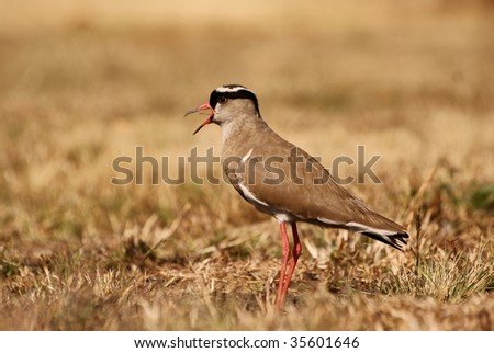 Side view of a Crowned Plover. - stock photo