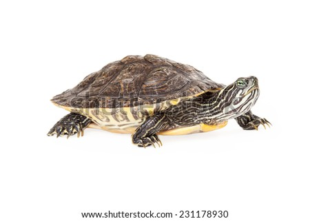 Side view of a cure River Cooter turtle isolated on white