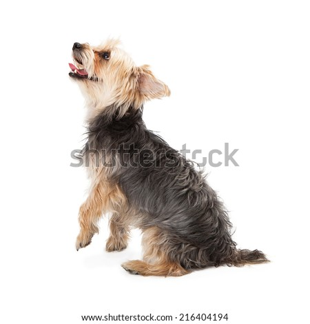 Side view of a cute Yorkshire Terrier looking up - stock photo
