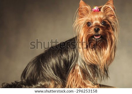 side view of a cute yorkshire terrier puppy dog with mouth open looking at the camera on grey studio background - stock photo