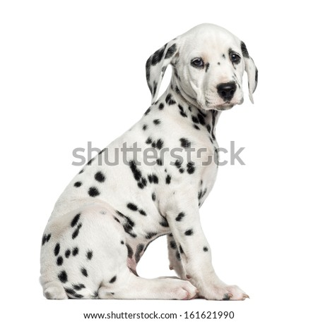 Side view of a Dalmatian puppy sitting, looking at the camera, isolated on white - stock photo