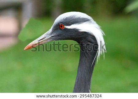 Side view of a Demoiselle Crane (Anthropoides virgo)