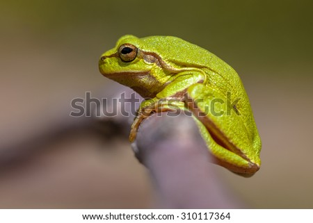 Side view of a European tree frog (Hyla arborea) perched on a branch - stock photo