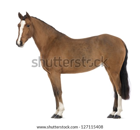 Side view of a Female Andalusian, 3 years old, also known as the Pure Spanish Horse or PRE against white background - stock photo