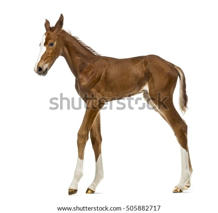 Side view of a foal walking isolated on white