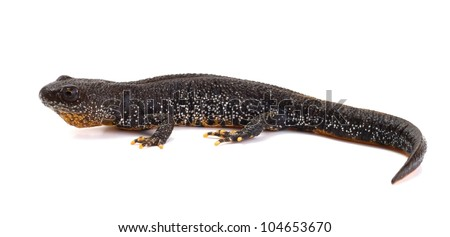 Side view of a Great Crested Newt on a white background - stock photo