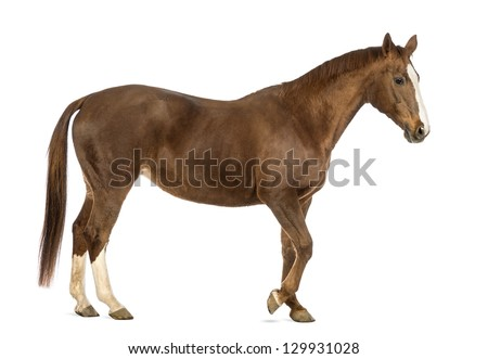 Side view of a Horse walking in front of white background - stock photo