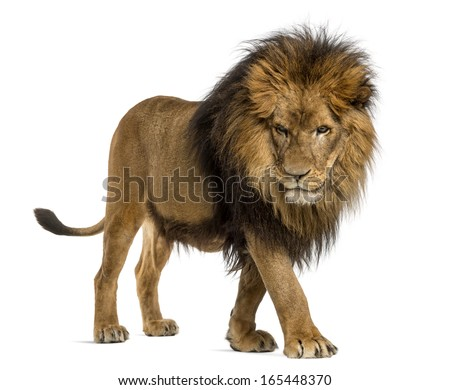 Side view of a Lion walking, looking down, Panthera Leo, 10 years old, isolated on white - stock photo
