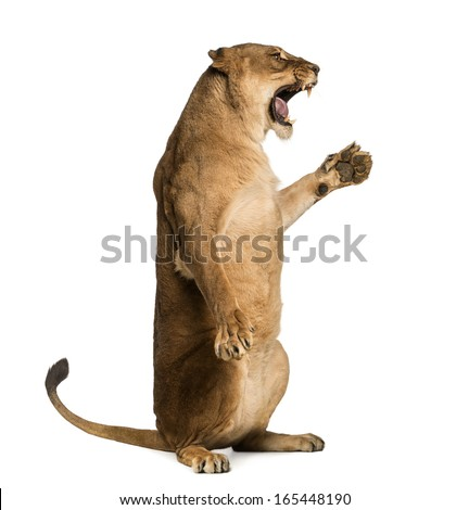 Side view of a Lioness roaring, sitting on hind legs Panthera leo, 10 years old, isolated on white - stock photo