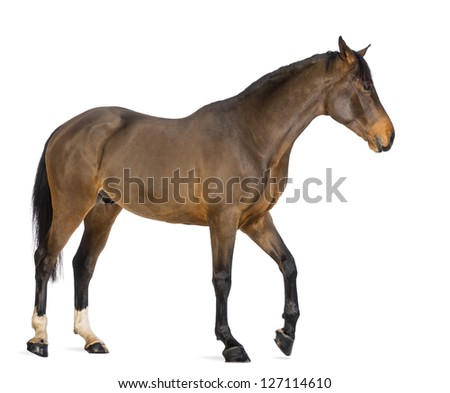 Side view of a Male Belgian Warmblood, BWP, 3 years old, against white background