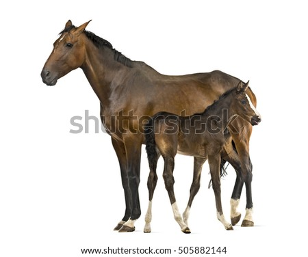 Side view of a mare and her foal isolated on white