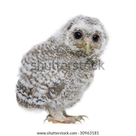 side view of a owlet - Athene noctua (4 weeks old) in front of a white background - stock photo