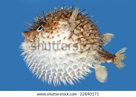 Side view of a porcupine fish, isolated on a blue background. - stock photo