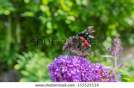Side view of a Red Admiral of Vanessa atalanta butterfly at the purple flower of a Butterfly Bush or Buddleja. - stock photo