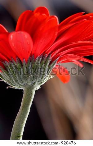 Side view of a red gerbera daisy - stock photo