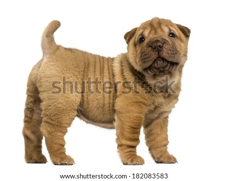 Stock Photo Cachorros De Perros De Diferentes Razas  Dachshund  Shar Pei  Rottweiler  Bulldog  Bulldog Franc C3 A9s further Dogthe Domestic Dog Canis Lupus in addition Stock Photo Portrait Of Two Dogs Breed Wire Haired Dachshund together with Stock Photo Little Brown Spotted Dachshund Isolated On Grey Background furthermore Shar Pei. on puppies of different breeds dachshund shar pei rottweiler bulldog
