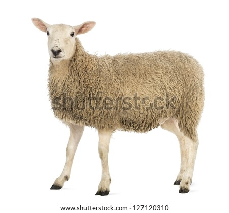 Three sheep - photo#30